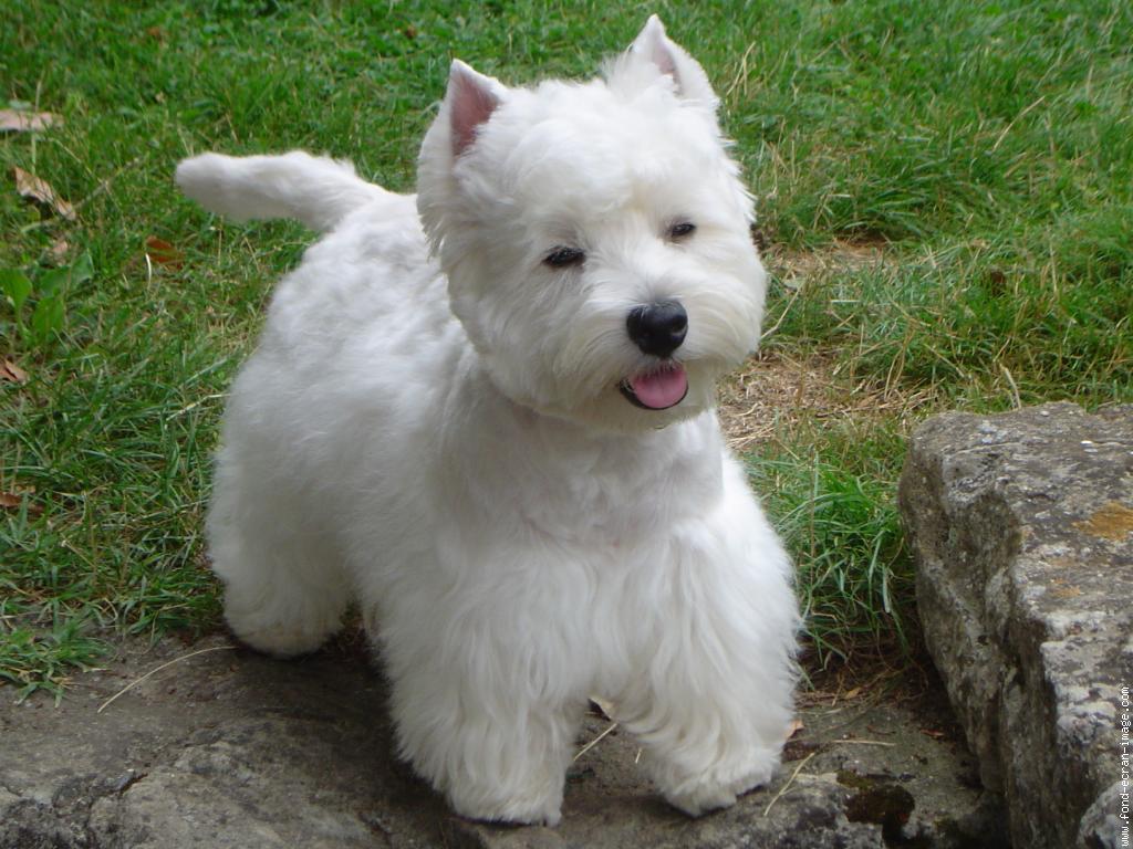 Westie west highland white terrier perroadoptagato blog en construccion - Pictures of westie dogs ...